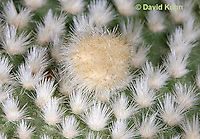 """1202-0847  Whitespine Pricklypear, Detail of White Spiny Bristles Called Glochids, Opuntia microdasys """"Albispina""""  © David Kuhn/Dwight Kuhn Photography"""