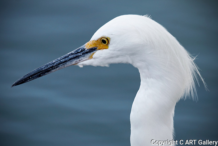 Egret posing for a profile shot, Balboa Island, CA.