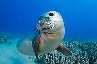 Hawaiian monk seal, Neomonachus schauinslandi, yearling female, critically endangered species, Mahukona, Kohala, Big Island, Hawaii, USA, Pacific Ocean