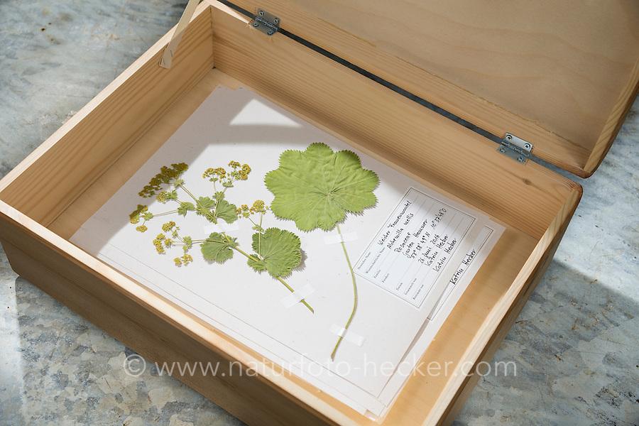 Fertige Herbarbogen, Herbarbögen werden in einer Kiste gesammelt und aufbewahrt. Botanik, Botanisieren, botany, Herbar, herbaria, Herbarien, herbarisieren, herbier, Pflanzenbestimmung, Pflanzenherbar