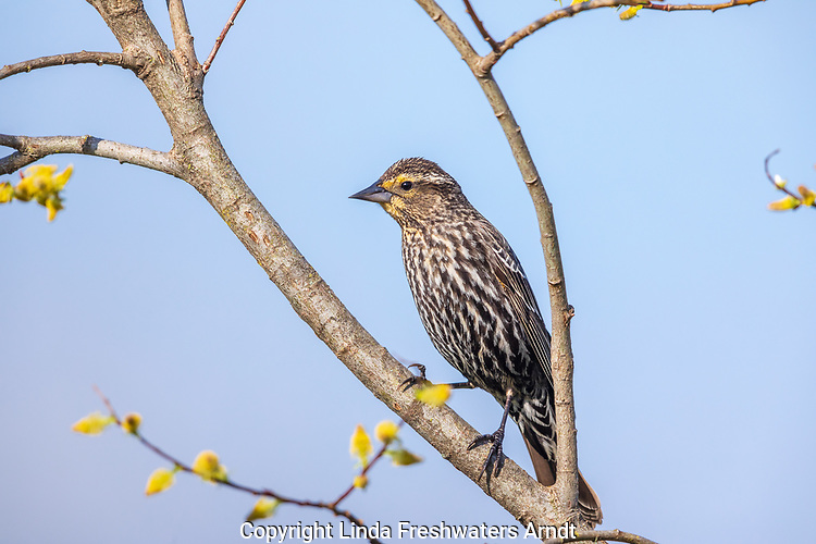 Female red-winged blackbird in a willow.