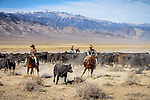 Nick and Jackie Dowers separating cattle at the Triple D Ranch in Dyer, Nevada. Nick is the 2013 National Reined Cow Horse Association Snaffle Bit Futurity Open Champion