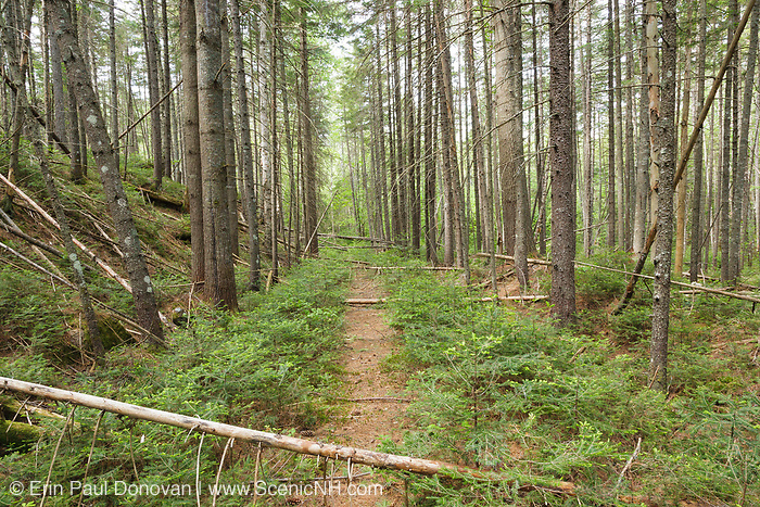 The old railroad bed of the East Branch & Lincoln Railroad (1893-1948) in the area of Stillwater Junction in the Pemigewasset Wilderness of Lincoln, New Hampshire. This section of the railroad is located along the Upper East Branch of the railroad.
