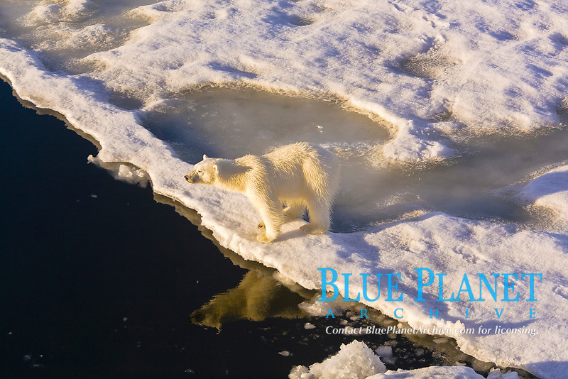 Curious young female polar bear (Ursus maritimus) on multi-year ice floes in the Barents Sea off the eastern coast of Edgeoya (Edge Island) in the Svalbard Archipelago, Norway., polar bear, Ursus maritimus