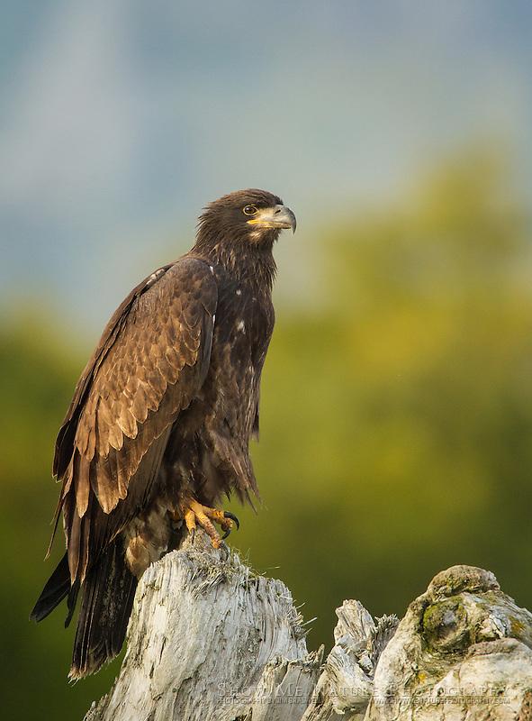 Immature Bald Eagle on driftwood, at Hallo Bay, Alaska