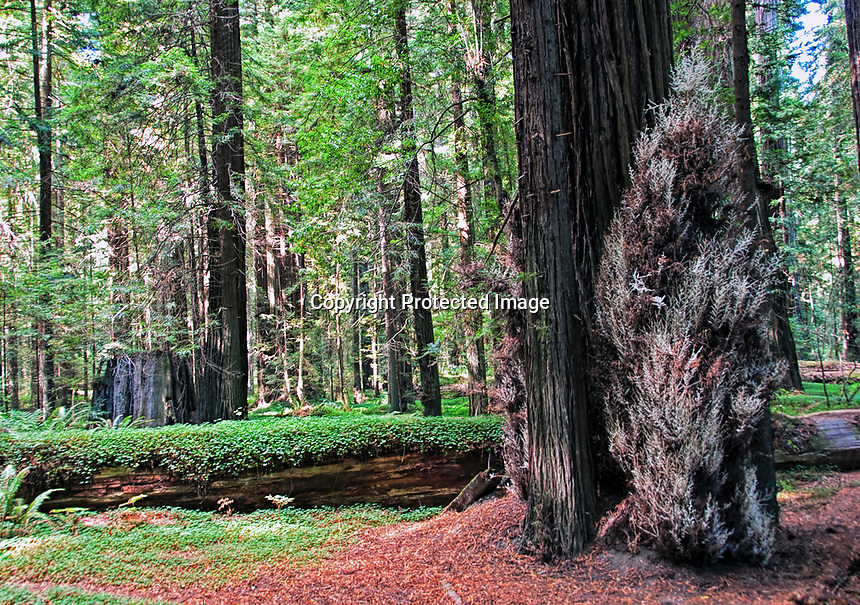 "A beautiful day in the fall at Humbolt Redwood State Park, California. A view of one of the rare albino redwoods known as the ""White Spirit"" trees."