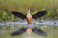 Fulvous Whistling-Duck (Dendrocygna bicolor), adult spreading wings, Sinton, Corpus Christi, Coastal Bend, Texas, USA