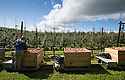 """09/09/16<br /> <br /> This year's Red Windsor apples are redder than ever thanks to perfect growing conditions. <br /> <br /> Ali Capper from Stocks Farm near Malvern, Worcestershire said: """"The lovely summer has been warm and wet when we needed it. The differential in temperature and mix of warm days and cool nights has been perfect for the crop here in this part of the country""""<br /> <br /> """"We lost our entire apple crop to a freak summer hailstorm last year. Thankfully this year's late spring stopped the blossom coming on too early and reduced the chance of frost damage. And since then the conditions have been better than we could have hoped for""""<br /> <br /> The Red Windsor apple was first discovered in the village 25 years ago. The relatively new variety has a sweet and tangy flavour and will continue to ripen for a couple of months before appearing on the shelves in Tesco later this autumn.<br /> <br />   <br /> All Rights Reserved, F Stop Press Ltd. +44 (0)1773 550665"""