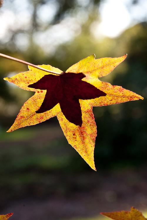 Leaves of Liquidambar styraciflua, late October.