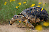 481150058 a wild texas tortoise gopherus berlandieri in a small patch of yellow wildflowers in the rio grande valley of south texas