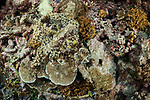 Marovo Lagoon, Solomon Islands; a crocodile flathead fish laying perfectly camouflaged on the coral reef