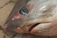 Common thresher shark caught in Devon, United Kingdom.. Fisherman preparing it for market. Weight 450lbs.