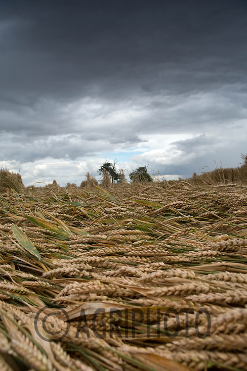 Lodged Wheat in Lincolnshire