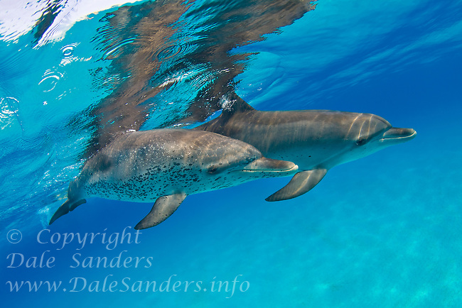 A pair of Atlantic Spotted Dolphin (Stenella frontalis) swim underwater over the shallows ofLittle Bahamas Bank in the Bahamas.