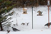 Ringeltaube, Buchfink, Bergfink, Blaumeise, Vögel an der Vogelfütterung, Fütterung im Winter bei Schnee, im mit Körnern gefüllten Futterhäuschen, Vogelhäuschen, Futterhaus, Vogelhaus, Winterfütterung, Futtersilo, Körner am Boden