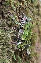 Mossy Rain Frog (Scaphiophryne marmorata) climbing and camouflaged on moss covered tree trunk. Mid-altutude montane rainforest, Andasibe-Mantadia National Park, eastern Madagascar.