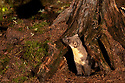 European Pine Marten (Martes martes) in pine forest at night. Highlands, Scotland. October. (baited)