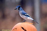 1J02-008z  Blue Jay - on Jack-o-lantern - Cyanocitta cristata