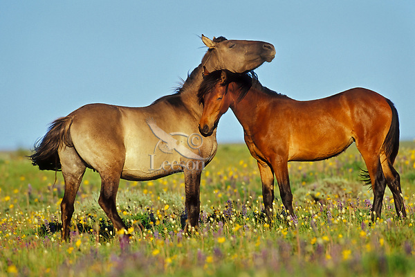 Wild Horses nuzzling one another,  Western U.S., summer..(Equus caballus)