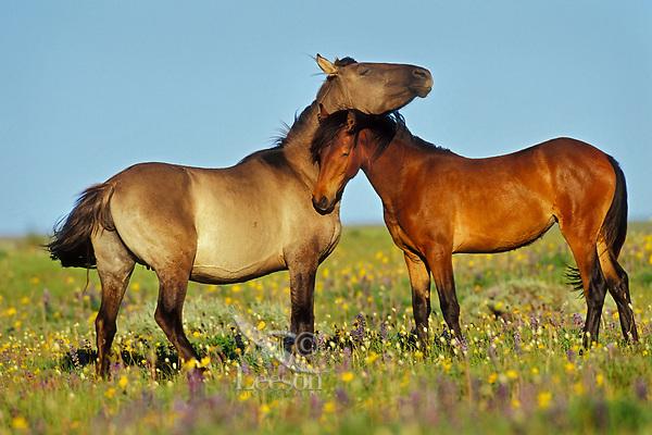 Wild Horses nuzzling one another,  Western U.S., summer..(Equus caballus)