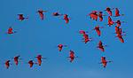 Scarlet Ibis, Brazil