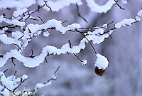 WT01-001b  Weather - snow covered apple