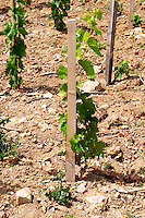 Domaine Clos Marie. Pic St Loup. Languedoc. Carignan grape vine variety. Calcaire ebouilli, calcareous compacted soil type. Terroir soil. France. Europe. Vineyard. Calcareous limestone.