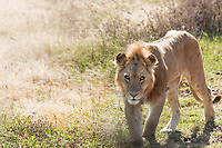 A thin, hungry lion