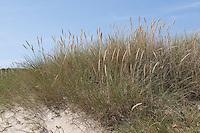 Gewöhnlicher Strand-Hafer, Strandhafer, Helm, auf Weißdüne der Meeresküste, Ammophila arenaria, Beach Grass, Marram Grass
