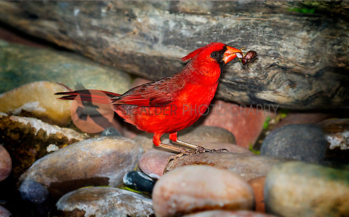 Male Northern Cardinal with bug in beak