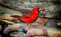 Male Northern Cardinal on rocks by stream with bug in beak