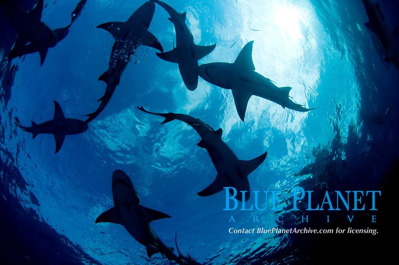 Lemon shark, Negaprion brevirostris, in the Bahamas.