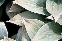 Pleurophyllum hookeri leaves on Campbell Island
