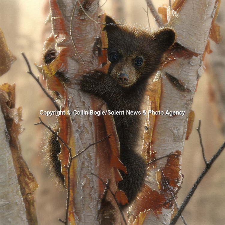 """NOTE FOR ONLINE:  MAXIMUM OF 10 IMAGES TO RUN ALONGSIDE THIS STORY - UNLESS OTHERWISE AGREED WITH A REVISED FEE IN PLACE.<br /> <br /> Pictured:  One of Collin Bogle's realistic paintings: Curious Cub II<br /> <br /> These intricately detailed pictures of wild animals look like photographs - but are in fact paintings.  American artist Collin Bogle's extraordinary work portrays close up encounters with animals such as lions, snow leopards, wolves, eagles and bears.<br /> <br /> He uses photos of the animals as a reference and spends between two weeks and two months painstakingly creating each piece.  Mr Bogle, who works out of his home in Seattle, Washington, in the United States, said: """"My dad is an artist and was also a high school art teacher - so I started learning to paint as soon as I could hold a brush.  SEE OUR COPY FOR DETAILS.<br /> <br /> Please byline: Collin Bogle/Solent News<br /> <br /> © Collin Bogle/Solent News & Photo Agency<br /> UK +44 (0) 2380 458800"""