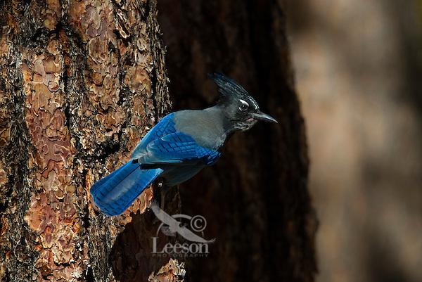 Steller's jay (Cyanocitta stelleri) on side of ponderosa pine tree.  Western U.S., Fall.