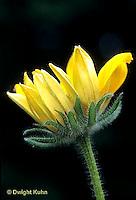 FD01-022c  Black-Eyed Susan opening -shows sepals, petals - Rudbeckia hirta