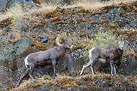 Bighorn Sheep (Ovis canadensis) ram and ewe near the John Day and Columbia Rivers in North Central Oregon.  October.  Note: These sheep were formerly known as California Bighorn, but are now classified with Rocky Mountain Bighorn.