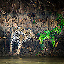 Wild male Jaguar (Panthera onca palustris) sitting on the edge of the Piquiri River (a tributary of Cuiaba River). Northern Pantanal, Brazil.