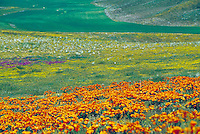 Antelope Valley Poppy Reserve covered in yellow orange blooming poppies.horizontal. Flower, flowers, flowering plants. California United States Antelope Valley.