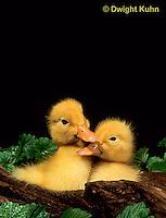 DG20-116z  Pekin Duck - four day old ducklings exploring