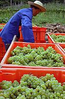 Colheita de uvas. Vale do Vinhedos. Bento Gonçalves. Rio Grande do Sul. 2009. Foto de Cris Berger.