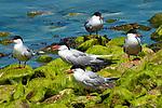 5 Common terns on moss covered rocks, Bird Island, Marion, Massachusetts.