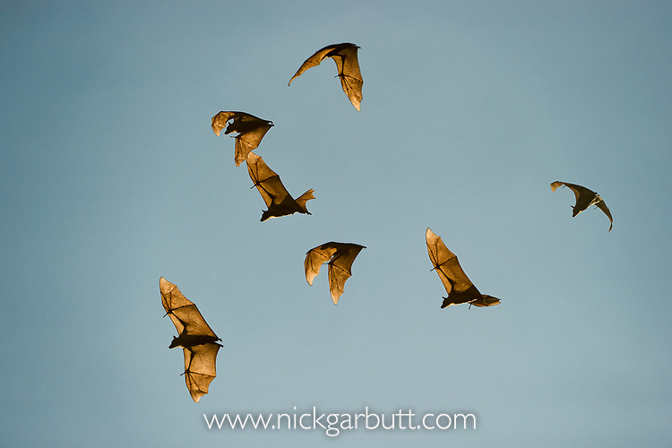 Straw-coloured fruit bats (Eidolon helvum) in flight returning to their daytime roost. Kasanka National Park, Zambia.