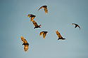 Straw-coloured fruit bats (Eidolon helvum) in flight returning to their daytime roost. Kasanka National Park, Zambia.