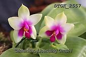 Gisela, FLOWERS, BLUMEN, FLORES, photos+++++,DTGK2557,#f#, EVERYDAY ,orchids