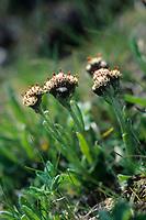 Karpaten-Katzenpfötchen, Antennaria carpatica