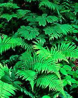 Ferns along the Guyandotte Beauty Trail; Chief Logan State Park, WV