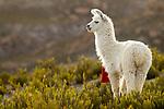 Llama (Lama glama), Abra Granada, Andes, northwestern Argentina