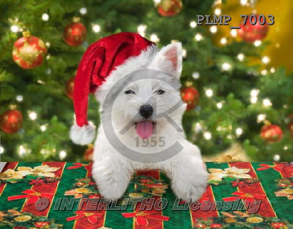 Marek, CHRISTMAS ANIMALS, WEIHNACHTEN TIERE, NAVIDAD ANIMALES, photos+++++,PLMP7003,#XA# dogs santas cap