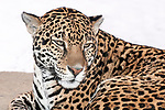 jaguar laying on large boulder looking slightly right, medium shot of face and shoulders